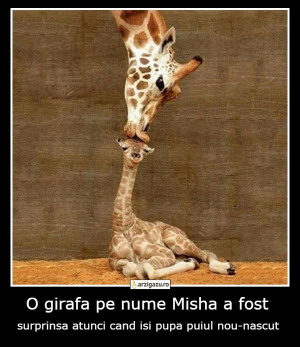 O girafa pe nume Misha a fost surprinsa atunci cand isi pupa puiul nou-nascut